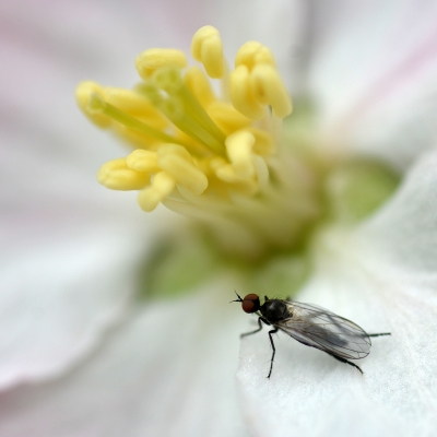 19.Mouche sur fleur de Pommier