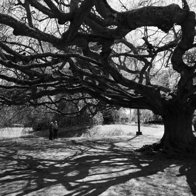 Bayeux, jardin des plantes, le Hêtre pleureur
